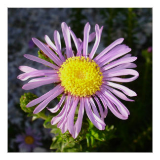 Magenta Aster - A Star of Love and Fidelity Poster