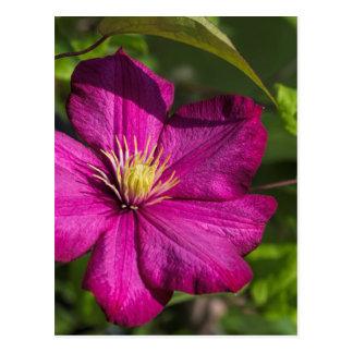 Magenta Clematis Blossom Postcard
