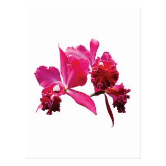 Magenta Orchids Postcard