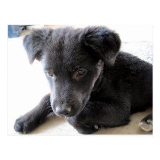 Maggie, Cute Black Lab Puppy Postcard