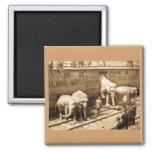 Magic Lantern Slide Ringling Bros Elephant Train 2 Inch Square Magnet