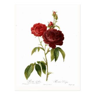 Magna del purpuro-violacea del gallica de Rosa Tarjetas Postales