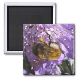 Magnet - Bee on Scabious Flower
