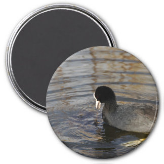 Magnet - Coot