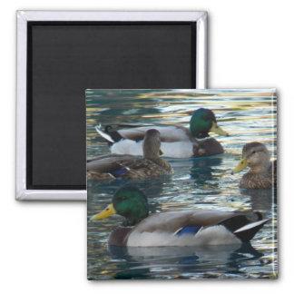 Magnet - Duck, Duck, Duck, Duck