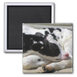 Magnet, Heifer, Baby Cow Photography