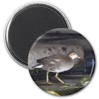 Magnet: Juvenile Moorhen 2 Inch Round Magnet
