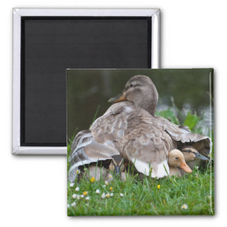 Magnet: Mama Mallard and Ducklings 2 Inch Square Magnet
