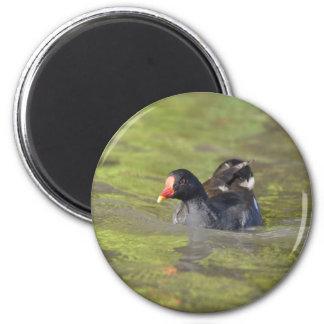Magnet: Moorhen 2 Inch Round Magnet