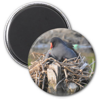 Magnet: Moorhen and Chick 2 Inch Round Magnet