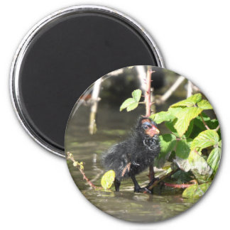 Magnet: Moorhen Chick 2 Inch Round Magnet