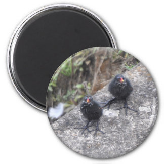 Magnet: Moorhen Chicks 2 Inch Round Magnet