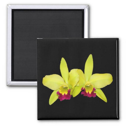 Magnet, square, 2 yellow-green cattleyas 2 inch square magnet