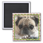 Magnet/The Itsy Pug: Rescue is Love 2 Inch Square Magnet