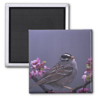 Magnet / White-crowned Sparrow