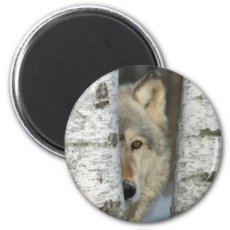 Magnet with photo of gray wolf in some birch trees