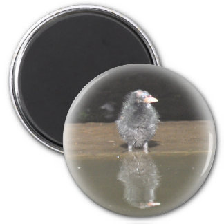 Magnets: Moorhen Chick 2 Inch Round Magnet