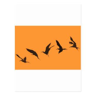 Magnificent frigate bird Galapagos Islands Postcard