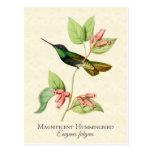 Magnificent Hummingbird Art Postcard
