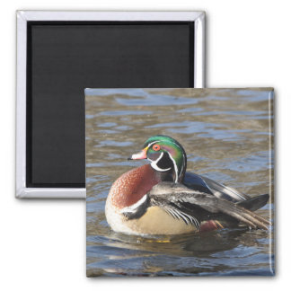 Magnificent Male Wood Duck 2 Inch Square Magnet
