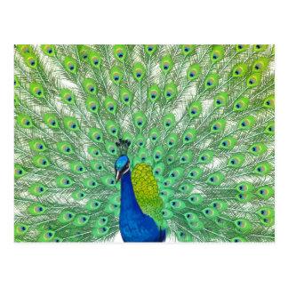Magnificent Peacock Art Postcard