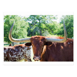 Magnificent Texas Longhorn Bull Postcard