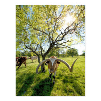 Magnificent Texas Longhorn Steer Postcards