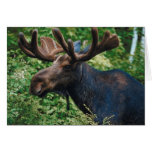 Magnificient Moose Greeting Cards