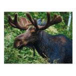 Magnificient Moose Postcards