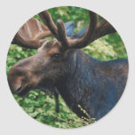 Magnificient Moose Round Stickers