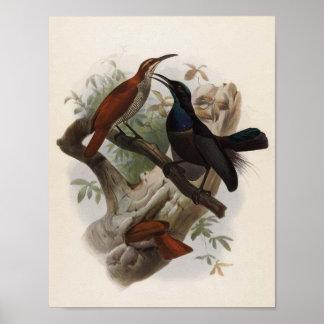 Magnificus de Ptiloris - Rifle-pájaro magnífico Posters