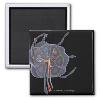 Magnified look of a lymph node refrigerator magnets