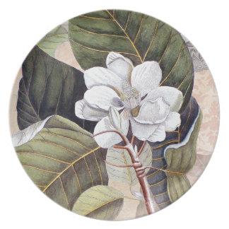 Magnolia blanca meridional elegante Catesby Platos