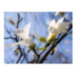 Magnolia blanca tarjetas postales