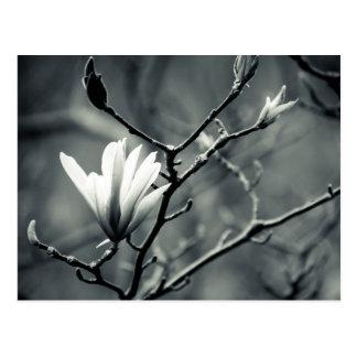 Magnolia blanco y negro tarjetas postales
