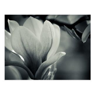 Magnolia blanco y negro postales