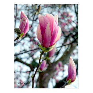 Magnolia Bloom and Buds Postcard
