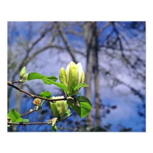 Magnolia Bloom Photo