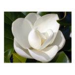 Magnolia Bloom Postcard