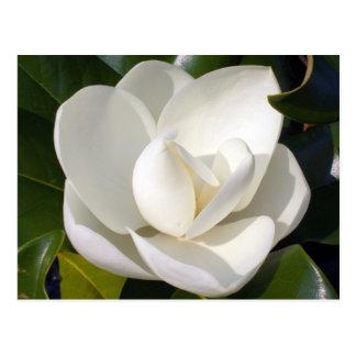 Magnolia Bloom Post Card
