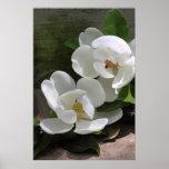 Magnolia Blooms Poster