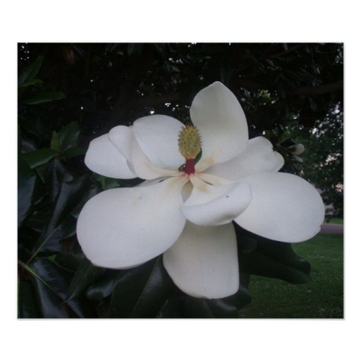 Magnolia Blossom with Company Print