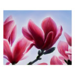 Magnolia Blossoms Poster