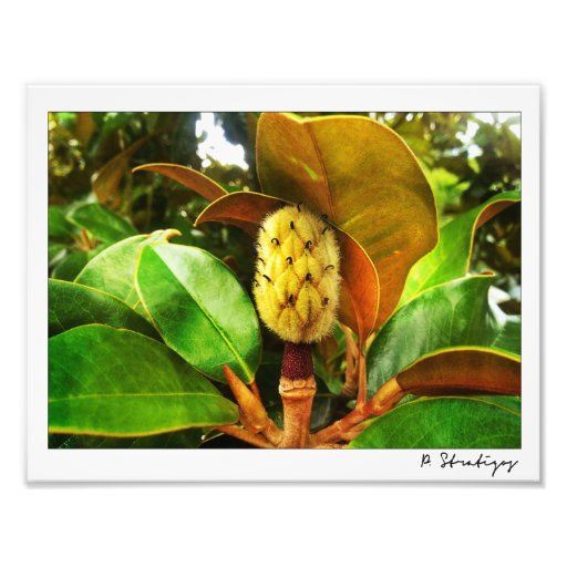 Magnolia Bud Photo Print