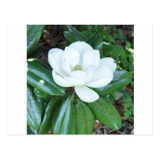 Magnolia de Magnificant Tarjetas Postales
