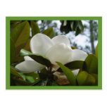 Magnolia de Mississippi Tarjeta Postal