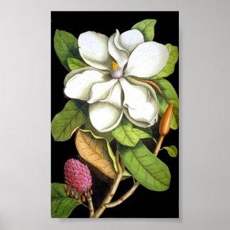 Magnolia del vintage botánica póster