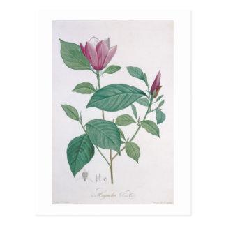 Magnolia discolor, engraved by Legrand (colour lit Postcard