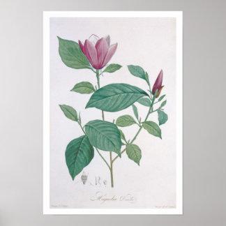 Magnolia discolor, engraved by Legrand (colour lit Poster