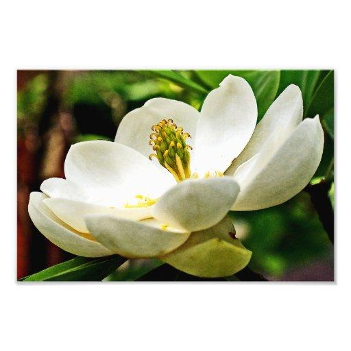 Magnolia Flower Close Up Photo Art